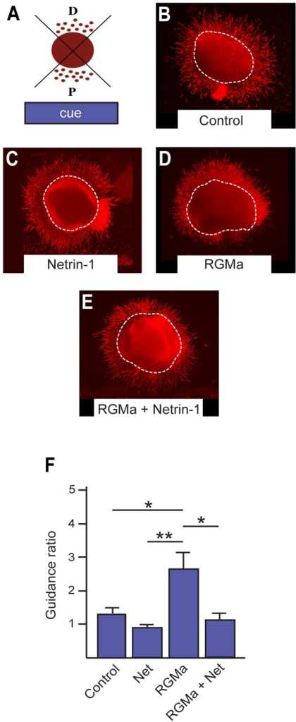 RGMa-mediated repulsion of newborn interneurons is suppressed by Netrin-1.(A) The extent of interneuron migration was calculated as the ratio of the distal to proximal area (guidance ratio) occupied by migrating cells. (B–E) Anti-βIII-tubulin immunolabeling (red) revealed the extent of interneuron migration out of E14.5 MGE VZ explants placed adjacent to agarose blocks containing control HEK293 cells (B), cells producing Netrin-1 (C), RGMa (D) or RGMa + Netrin-1 (E). Note the significant increase in neuron density on the distal side of the explant in the presence of RGMa (D). (E) Quantification of the guidance ratio for newborn interneuron migration out of the MGE explants in response to guidance cues. Dotted lines indicate the body of the explant. Control, n = 10; Netrin-1, n = 8; RGMa, n = 12; RGMa + Netrin-1, n = 7. *p<0.5, **p<0.01.