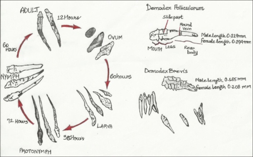 Morphology And Life Cycle Of The Demodex Mite Open I