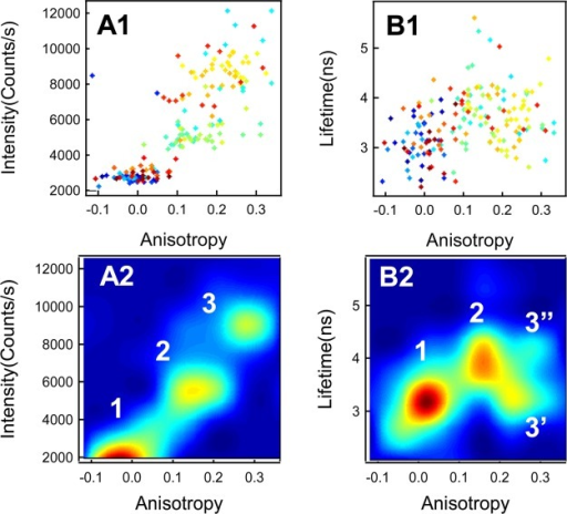 Correlationplots of the lifetime, anisotropy, and intensity onthe single HRP-catalyzed amplex red fluorogenic assay. (A1) Correlationof fluorescence intensity and anisotropy and (B1) correlation of lifetimeand anisotropy. For A1 and B1, the color (from cold color to warmcolor, i.e., from blue to red) of the data points represents the timesequence from the start to the end of the fluorogenic enzymatic turnoverevent. (A2) The correlation plots of fluorescence intensity and anisotropywith identified rotational correlation times. (B2) Correlation oflifetime and anisotropy with identified rotational correlation times.