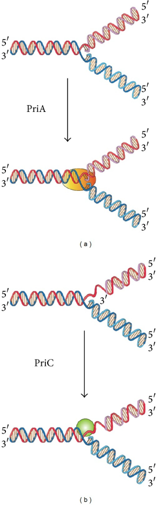 Two DnaB helicase-recruiting pathways for DNA replication restart at the stalled replication fork in vitro. The PriA-directed pathway (i.e., PriA-PriB-DnaT-DnaC-dependent reaction) preferentially uses fork structures without gaps in the leading strand, whereas the PriC-directed pathway (i.e., PriC-DnaC-dependent system) preferentially uses fork structures containing large gaps (>5 nucleotides) in the leading strand.