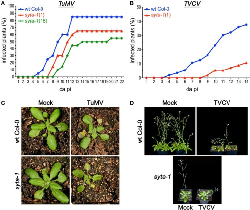 TuMV and TVCV infections are delayed in syta-1. (A) Time course of appearance of disease symptoms on wild type (wt) Arabidopsis Col-0 plants (blue), and syta-1 mutant lines 1 (red) and 16 (green) inoculated with equal amounts of TuMV (Table 1, Trial 2). (B) Development of systemic disease as assessed by viral CP accumulation in Col-0 plants (blue) and syta-1 mutant line 1 (red) inoculated with equal amounts of TVCV (Table 2, Trial 3). (C) TuMV or mock inoculated wild type Col-0 or syta-1 plants at 16 da post inoculation (pi). (D) TVCV or mock inoculated wild type Col-0 plants at 30 da post inoculation or syta-1 plants at 14 da post inoculation (pi).