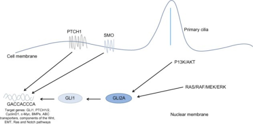 Non-canonical Hh signaling.Note: The Hh pathway can be activated directly through PTCH1 or SMO, or via alternative pathways including the PI3K/AKT and RAS/RAF/MEK/ERK signaling cascades.Abbreviations: Hh, hedgehog; EMT, epithelial-mesenchymal transition; PTCH1, Patched 1; SMO, Smoothened.