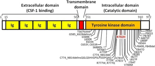 CSF1R protein domain and mutation schematic. Schematic diagram of the protein domain structure of CSF1R with amino acid numbers provided. Mutations previously reported in other studies are shown in black [3–5, 7–9] and the R782H mutation identified in the present study is highlighted in red. Ig: Immunoglobulin domains