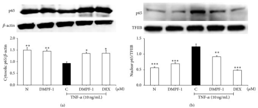 Effect of DMPF-1 on TNF-α-stimulated nuclear translocation of NF-κB p65 in A549 cells. Cells were treated with DMPF-1 (7.5 μM) or positive controls in the presence or absence of TNF-α for 1 hour. Cytosolic and nuclear fractions were subjected to Western blot analysis. (a) Cytosolic fraction in which protein levels of p65 were normalized to β-actin. (b) Nuclear fraction in which protein levels of p65 were normalized to TFIIB. The values are expressed as mean ± SEM of three independent experiments. ∗P < 0.05, ∗P < 0.01, and ∗∗∗P < 0.005, significantly different from the TNF-α-stimulated control group.