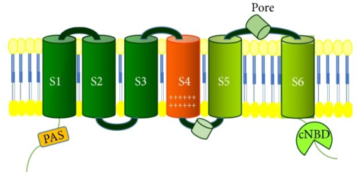 Structure of hERG1 potassium channel. PAS: PAS (acronym of Per Arnt Sim) domain; cNBD (cyclic nucleotide binding domain).