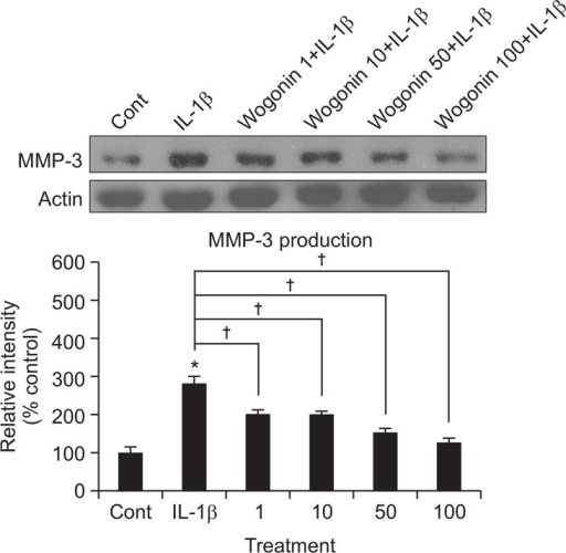 Effect of wogonin on IL-1β-induced production of MMP-3 from rabbit articular chondrocytes. Primary cultured rabbit articular chondrocytes were pretreated with varying concentrations (1, 10, 50, and 100 μM) of wogonin for 2 h and then stimulated with IL-1β (10 ng/mL) for 24 h. Culture supernatants were collected for measurement of the levels of produced MMP-3 by western blot analysis. Three independent experiments were performed and the representative data were shown (cont: control, concentration unit is μM). *Significantly different from control (p<0.05). †Significantly different from IL-1β alone (p<0.05).