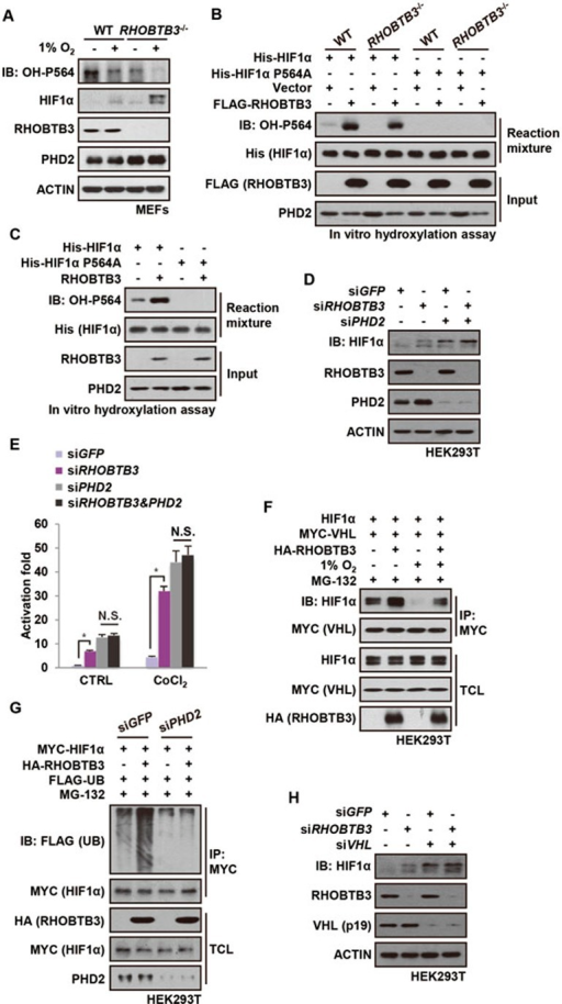 RHOBTB3 promotes HIFα hydroxylation and ubiquitination in a PHD2- and VHL-dependent manner. (A) RHOBTB3 promotes hydroxylation of HIF1α in MEFs. RHOBTB3−/− MEFs and WT MEFs were maintained in normoxia or exposed to hypoxia for 8 h. Cells were then lysed and the hydroxylation on proline-564 of HIF1α (OH-P564) was analyzed by immunoblotting. As a consequence of sustained accumulation of HIF1α in RHOBTB3- MEFs, the protein levels of PHD2 were increased. In contrast, the relatively short-term, 8-h hypoxic exposure did not change the protein levels of PHD2. (B) Ectopically expressed RHOBTB3 promotes hydroxylation of HIF1α in vitro. RHOBTB3−/− MEFs and WT MEFs were infected with blank lentiviruses or lentiviruses expressing FLAG-RHOBTB3. Following lysis, the cell lysates were incubated with nickel affinity resin-bound bacterially expressed His-HIF1α (aa 401-603) or the P564A mutant for 90 min at 30 °C. The mixtures were diluted twofold in a 2× SDS buffer, and analyzed by western blotting using antibodies indicated. (C)In vitro translated RHOBTB3 promotes hydroxylation of HIF1α. In vitro translated RHOBTB3 and His-HIF1α (aa 401-603) or the P564A mutant were separately added to cell lysates of RHOBTB3−/− MEFs, and the mixtures were incubated at 30 °C for 90 min. The mixtures were then analyzed for levels of HIF1α hydroxylation as in B. (D) Knockdown of PHD2 impairs RHOBTB3-induced degradation of HIF1α. HEK293T cells were infected by lentiviruses expressing control siRNA (GFP), or siRNA targeting RHOBTB3 or PHD2 or both. At 16 h post-infection, cells were exposed to hypoxia for 4 h, then lysed and analyzed by immunoblotting with antibodies indicated. (E) Double knockdown of RHOBTB3 and PHD2 does not significantly increase transcriptional activity of HIF1α in single knockdown of PHD2. HEK293T cells were infected with lentiviruses expressing different siRNAs as indicated. After 12 h, cells were treated with 200 μM CoCl2 for another 8 h and then lysed. The firefly luciferase reporter carrying HRE was measured and normalized against the Renilla luciferase activity in a dual luciferase assay system. Data are presented as mean ± SEM; n = 3 for each group; *P< 0.05 (ANOVA followed by Tukey); N.S., not significant. (F) RHOBTB3 promotes the interaction between HIF1α and VHL. HEK293T cells were transfected with different combinations of HIF1α, MYC-VHL and HA-RHOBTB3. At 16 h post-transfection, cells were treated with 10 μM MG-132 and maintained in normoxia or exposed to hypoxia for another 10 h, and were lysed. The protein extracts were immunoprecipitated with antibody against MYC for VHL, and were subjected to western blot analysis. TCL, total cell lysate. (G) Knockdown of PHD2 attenuates RHOBTB3-induced ubiquitination of HIF1α. HEK293T cells infected with lentiviruses expressing siRNA targeting GFP (control) or PHD2 were transfected with different combinations of MYC-HIF1α, HA-RHOBTB3 and FLAG-UB. At 16 h post-transfection, cells were treated with 10 μM MG-132 for another 10 h, and were then lysed with RIPA buffer containing 1% SDS and boiled. The protein extracts were diluted in RIPA buffer without SDS to a final concentration of 0.2% SDS, and were subjected to IP with antibody against MYC for HIF1α. The IP product was analyzed by immunoblotting. (H) Knockdown of VHL impairs RHOBTB3 deficiency-induced HIF1α accumulation. HEK293T cells were infected by lentiviruses expressing siRNA targeting GFP (control), RHOBTB3 and/or VHL. At 16 h post-infection, cells were exposed to hypoxia for 4 h, and analyzed by immunoblotting to determine HIF1α protein levels. Probably owing to the low expression levels of its 24 kDa isoform in HEK293T as described previously80 and the preferential affinity of antibody, only the 19 kDa isoform of VHL (VHL (p19)) could be detected and is shown here.