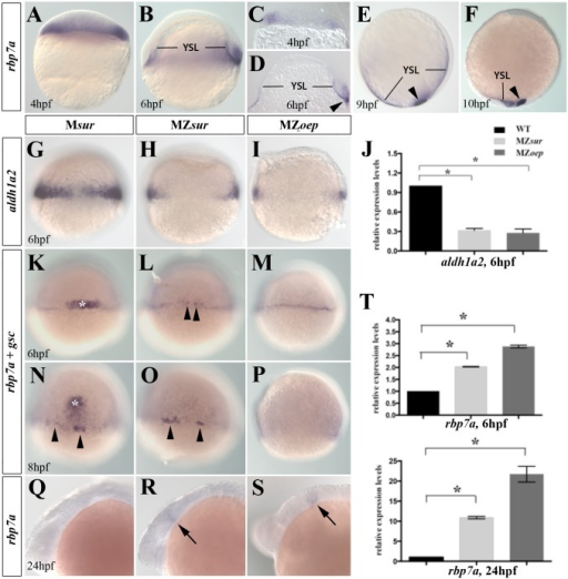 Complementary regulation of rbp7a and aldh1a2 by Nodal signaling.[A-F] Lateral views of whole mount in situ stains of rbp7a in wild type embryos at 4hpf [A, C] 6hpf [B,D], 9hpf [E] and 10hpf [F]; [C-D] vibratome sections of 4hpf and 6hpf embryos. rbp7a signals are found in marginal cell [A-D], YSL, and in forerunner cells (arrowhead in [D-F]). [G-J] Marginal expression of aldh1a2 is strongly reduced in 6hpf MZsur [H] and MZoep [I] embryos; [J] RT-qPCR verified reduced expression levels of aldh1a2 in MZsur, MZoep as compared to wild type embryos. [K-P] Whole mount in situ hybridization for rbp7a (arrow heads) and goosecoid (gsc) (white asterisks) performed at 6 and 8 hpf in Msur+/- as control [K, N], MZsur [L, O] and MZoep [M, P] embryos. Note that expression levels of rbp7a around the YSL were similar among the gsc positive embryos and the gsc negative MZsur [B, E] and MZoep [C, F] mutants. [Q-S] rbp7a expression at 24hpf. Arrows mark rbp7a signals in the posterior midbrain that were present in MZsur [R] and MZoep embryos [S] but not in control embryo [Q]. [T] RT-qPCR results for rbp7a in of 6hpf and 24hpf embryos. Graphed is the mean and SEM from triplicate experiments. Error bars indicated the SEM. Unpaired T-test was used to test the significance (*P<0.05).