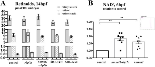 Retinoid and NAD+ levels in mRNA in Morpholino injected embryos.[A] HPLC measurements show no significant changes in of ROL, RE and RA levels in 14hpf embryos injected with either RNA encoding Rbp7a, Nmnat1-Rbp7, or morpholinos blocking rbp7a translation (MO-ATG) and proper splicing of rbp7a exon 2 (MO-Δex2). For each dataset three independent treatments were performed and 100 embryos each were collected at 14hpf from each group of mRNA injected, morphant, and non-injected embryos. [B] NAD+ levels increase after over-expressions of nmnat1 and nmnat1-rbp7a fusion mRNA. Spectral peaks of HPLC measurements shows the peak characteristic of NAD+ reference. For each experiment, three times 100 embryos at 6hpf were collected in different treatment or wild type groups Error bars indicated the SEM (**P<0.01).