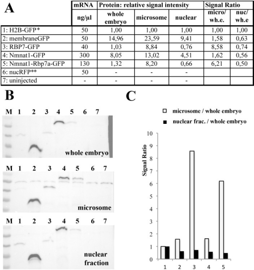 Rbp7a-GFP and Nmnat1-Rbp7a-GFP are enriched in microsome preparation.[A] Experimental overview indicating the encoded proteins, concentrations of injected mRNA (2nl/embryo) and data quantification of Western-Blot shown in [B]. Relative signal intensities always relate to H2B-GFP signals (*). Signal ratios correspond to the indicated quotient of t relative signal intensities. All mRNA were co-injected with 50ng/μl nucRFP mRNA (**). [B] Anti-GFP based Western-Blot analyses of whole embryo extracts (~1,7 embryos/lane), microsome preparation (~7,5 embryos/lane) and nuclear extracts (~1,5 embryos/lane). [C] Diagram showing indicated relative signal ratios shown in [A].