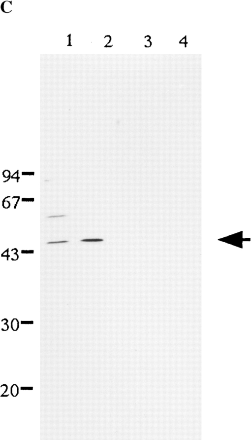Identification of human RanBPM. (A) Northern analysis. Poly (A)+ RNA (2 μg/lane) extracted from HeLa cells was  electrophoresed in 1.4% agarose gel and analyzed, using as a  probe the 32P-labeled RanBPM cDNA fragment as described in  Materials and Methods. Arrow, 3.1 kb of RanBPM mRNA. RNA  size markers are given in kilobases (kb). (B) Amino acid sequence. The amino acid sequence of human RanRPM was deduced from the nucleotide sequence of human RanBPM cDNA  deposited under GenBank/EMBL/DDBJ accession number  AB008515. Solid black arrows, amino acid sequences deduced  from the deposited nucleotide sequences of mouse cDNA fragments, the GenBank/EMBL/DDBJ accession numbers of which  are gbu-AA549267, gb-AA125423, and gb-AA427170, respectively. Dotted arrows, amino acid sequence deduced from cloned  hamster RanBPM cDNA, the nucleotide sequence of which has  been deposited under GenBank/EMBL/DDBJ accession number  AB015640. Shaded block, position of peptides used to raise the  anti-RanBPM antibodies. (C) Immunoblotting analysis. Total  cell extract of HeLa cells (lanes 1 and 3) and MRC5 cells (lanes 2  and 4) was analyzed by 12% SDS-PAGE and then transferred  to a PVDF membrane. The membrane was probed with affinity-purified anti-RanBPM antibodies in the absence (lanes 1 and  2) or the presence (lanes 3 and 4) of the peptide used for the  immunization.
