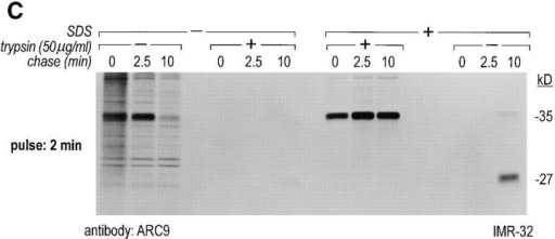 The generation of the βγ subunit derived 27-kD tryptic  cleavage product in cell lysates is coincident with the appearance  of newly assembled βγ complexes. (A) IMR-32 cells were labeled  with 200 μCi [35S]methionine for 2 h. Cells were lysed in 0.3%  Lubrol containing lysis buffer and trypsin was added at the concentrations indicated. Immunoprecipitations were done in the  presence of 0.2% SDS using ARC9 or rabbit anti-βγ serum. The  positions of undigested β chains and tryptic fragments are indicated on the right. (B) The origin of the 27-kD tryptic β fragment  was confirmed by re-immunoprecipitation of ARC9 immunoprecipitates with the peptide-specific polyclonal antiserum U-49. (C)  IMR-32 cells were pulsed for 2 min with 500 μCi [35S]methionine  and chased for the times indicated. Lysates were prepared as in  A, and trypsin was added at a concentration of 50 μg/ml. Immunoprecipitations were done in the presence and absence of 0.2%  SDS. Note that the appearance of the 27-kD fragment is coincident with the loss of the (−) SDS form in untreated samples. (D)  β and γ subunits are complexed in non-ionic detergent-resistant  membrane domains. IMR-32 cells were labeled for 3 h with 150  μCi [35S]methionine and lysed in TX-100–containing lysis buffer.  Detergent-resistant membranes were resolubilized in octyl-glucoside containing lysis buffer. Trypsin digestion was done as described  before (A–C); immunoprecipitations with ARC9 and rabbit antiβγ serum resulted in the appearance of the 27-kD and 14-kD  tryptic fragments.