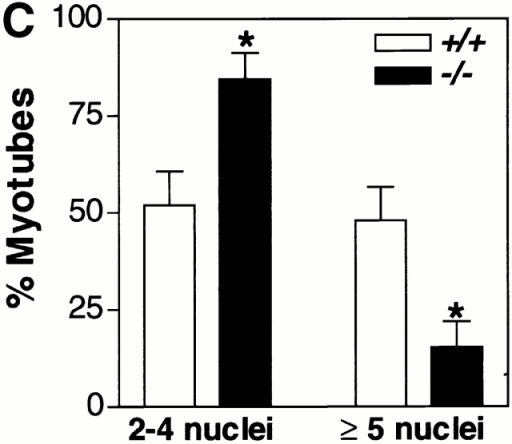 NFATC2−/− myoblasts form small myotubes with decreased nuclear number in vitro. (A) Cellular proteins from wild-type and NFATC2−/− myoblasts were collected at various time points during differentiation and analyzed by immunoblotting for myogenin and EMyHC. The expression patterns of myogenin and EMyHC are similar between differentiating wild-type and NFATC2−/− muscle cells. A portion of a Coomassie-stained gel demonstrates relative protein loading. (B) Wild-type and NFATC2−/− myoblasts were induced to differentiate in DM for 48 h and then immunostained for EMyHC. (C) The number of nuclei within individual myotubes (at least two nuclei) was counted. Myotubes were grouped into two categories, and the percentage of myotubes in each category was determined. Each bar represents mean ± standard error of three independent cell isolates each performed in duplicate (*P < 0.05). Bar, 60 μm.