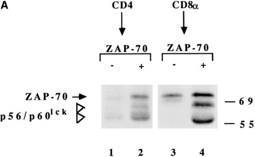 Intracellular association of coreceptor with triggered  TCRs. (A) T cell clones were  stimulated (+) or not (−) with  APCs, lysed, and the CD4 or  CD8 immunoprecipitates were  subjected to an in vitro kinase assay, followed by reimmunoprecipitation with anti–ZAP-70 antiserum. CD4+ clone KS140  conjugated with peptide-pulsed  or unpulsed APCs (lanes 1 and  2). CD8+ clone MS3 either untreated or conjugated with allogeneic class I− APC (lanes 3 and 4). (B)  Downregulation of CD3 (○, •) and CD4 (▵, ▴) in CD4− Jurkat cells  transfected with wild-type CD4 (▵, ○) or with mutant CD4.401 (▴, •).