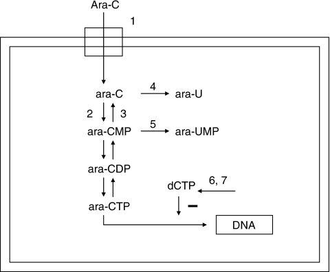 Metabolism of ara-C. Ara-C enters the cell via the equilibrative nucleoside transporter 1 (hENT1; 1). Inside the cell, ara-C is phosphorylated to ara-CMP by deoxycytidine kinase (dCK; 2). Ara-CMP is subsequently phosphorylated to ara-CTP, the active metabolite. Incorporation of ara-CTP into the DNA blocks DNA synthesis and leads to cell death. Ara-CTP formation can be obstructed. Pyrimidine nucleotidase I (PN-I; 3) opposes the action of dCK. Cytidine deaminase (CDA; 4) and deoxycytidylate deaminase (dCMPD; 5) convert ara-C to ara-U, and ara-CMP to ara-UMP, respectively. Increased intracellular dCTP pools antagonise the formation of ara-CTP. dCTP can be synthesised directly via the de novo pathway by ribonucleotide reductase (6). CTP synthetase (CTPs; 7) converts uridine triphosphate to CTP. Because aberrant expression of these enzymes may be related to in vitro sensitivity to ara-C, and other deoxynucleoside analogues, we determined the mRNA expression of the target genes in AML.