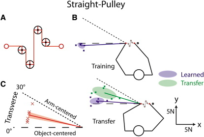 Straight-Pulley Condition(A) Locations of the hands (red circles) and four pulleys used in the straight-pulley condition.(B) Each blue cross represents the median force vector generated by a given participant during catch trials after learning. The thick blue lines show mean force vectors, averaged across participants, and the blue ellipses represent the corresponding 50% confidence ellipses. Each green cross represents the median force vector during transfer trials after learning in the training position. The thick green line shows the mean force vector, averaged across participants, and the green ellipse represents the corresponding 50% confidence ellipse.(C) Each red cross represents the median transfer angle for a single participant, and the thick red line shows mean angles averaged across participants. The shaded areas represent ± 1 SE. Object-centered and arm-centered predictions are represented by dashed and dotted lines, respectively.