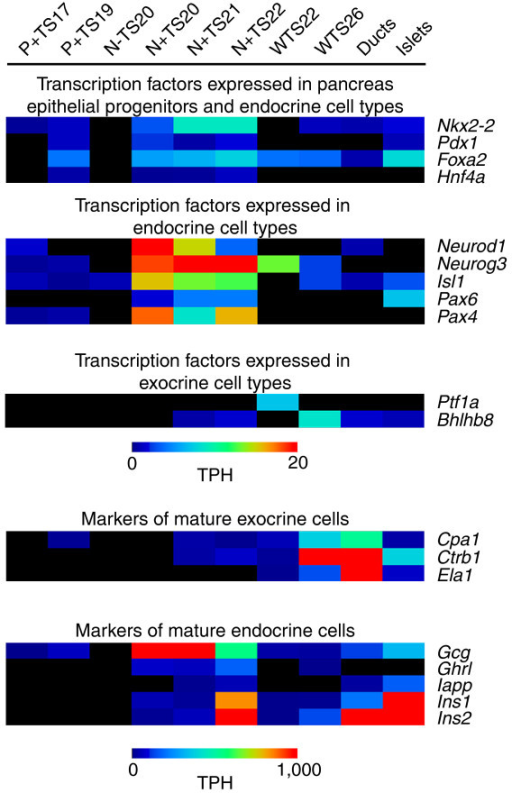 Heatmap of SAGE tag counts for genes with known expression profiles in pancreas development. Tags for genes with well characterized expression profiles in pancreas development were identified and their normalized counts obtained in each of the ten SAGE libraries created. A heatmap, generated using the multi-experiment viewer as described in the Materials and methods, of these results is shown based on the counts of the tags per hundred thousand (TPH). SAGE tags used include: TACACGTTCTGACAACT (Nkx2-2); AAGTGGAAAAAAGAGGA (Pdx1); TAGTTTTAACAGAAAAC (Foxa2); ACCTTCACACCAAACAT (Hnf4a); AATGCAGAGGAGGACTC (Neurod1); CAGGGTTTCTGAGCTTC (Neurog3); TCATTTGACTTTTTTTT (Isl1); GATTTAAGAGTTTTATC (Pax6); CAGCAGGACGGACTCAG (Pax4); CAGTCCATCAACGACGC (Ptf1a); AGAAACAGCAGGGCCTG (Bhlhb8); GACCACACTGTCAAACA (Cpa1); CCCTGGGTTCAGGAGAT (Ctrb1); TTGCGCTTCCTGGTGTT (Ela1); ACCACCTGGTAACCGTA (Gcg); GCCGGGCCCTGGGGAAG (Ghrl); CTAAGAATTGCTTTAAA (Iapp); GCCCTGTTGGTGCACTT (Ins1); TCCCGCCGTGAAGTGGA (Ins2). The libraries shown include: Pdx1 EGFP+ TS17 (P+ TS17); Pdx1 EGFP+ TS19 (P+ TS19); Neurog3 EGFP- TS20 (N- TS20); Neurog3 EGFP+ TS20 (N+ TS20); Neurog3 EGFP+ TS21 (N+ TS21); Neurog3 EGFP+ TS22 (N+ TS22); whole pancreas TS22 (WTS22); whole pancreas TS26 (WTS26); adult isolated ducts (Ducts); adult isolated islets (Islets).