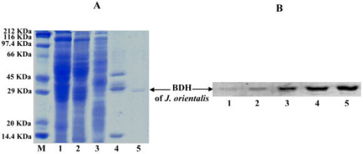 BDH purification steps from jerboa liver. Proteins (40 μg) were resolved by SDS-PAGE and stained with Coomassie Brilliant Blue (a) or subjected to Western blot (b) using the purified polyclonal anti-BDH antibodies. Lanes M, 1, 2, 3, 4, and 5 represent standard proteins, crude extract, 30–50% ammonium sulphate fraction, phenyl-Sepharose fraction, affinity chromatography fraction, and immunoaffinity chromatography eluate pool (pure protein preparation). Bound antibody was located by immunoreaction combined with peroxidase conjugated goat anti-rabbit IgG. The arrow (b) indicates the band corresponding to the BDH subunit.