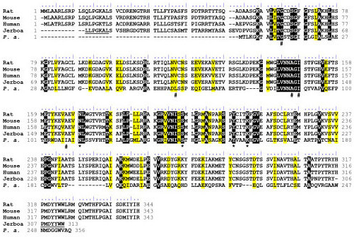 Alignment of BDH sequences. Alignment of BDH sequences from mammalian species (rat, mouse, human and jerboa) with Pseudomonas aeruginosa (P. a.) was realized using ClustalW (Thompson et al., 1994). Identical and similar residues were shown in black and yellow background respectively. The presumed amino acids sequences corresponding to oligonucleotides used for the PCR amplification of Jerboa BDH cDNA are underlined. According to the identity between Rat, Mouse and Human, they are considered as putative sequences in Jerboa. Amino acids of the catalytic tetrad Asn111, Ser139, Tyr152 and Lys156 (P. a. numbering) are marked by a star (*). These amino acids correspond to Asn114, Ser142, Tyr155 and Lys159 of the Pseudomonas fragi BDH (Ito et al., 2006). Amino acids participating to the NAD+ binding pocket Gly12, Leu61, Ala88, Ile90 and Ile108 (P. a. numbering) are marked by a hash sign (#). These amino acids correspond to Gly11, Leu64, Ala91, Ile93 and Leu113 of the Pseudomonas fragi BDH (Ito et al., 2006).