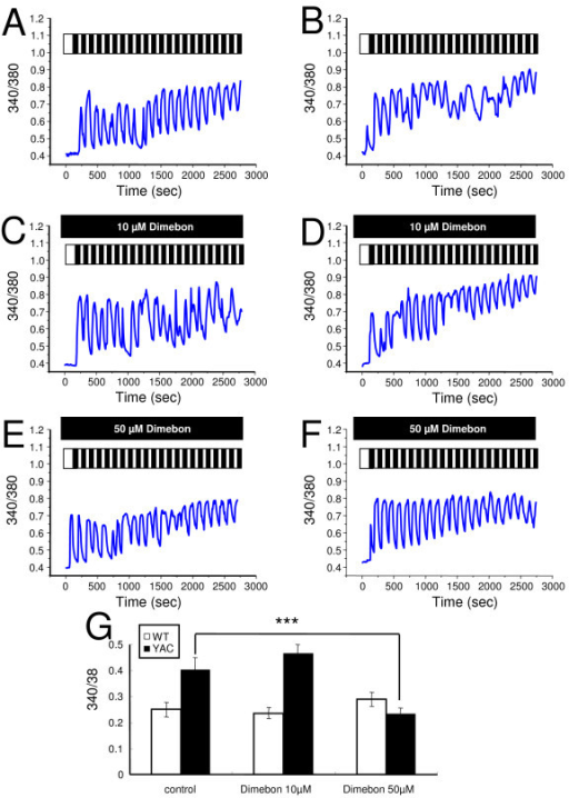 Effects of Dimebon on glutamate-induced Ca2+signals. (A-B), Repetitive application of 20 μM glutamate induces Ca2+ signals in MSN from the WT (A) and YAC128 (B) mice. (C-D), The same experiment as in (A) and (B) was performed in the presence of 10 μM Dimebon with WT (C) and YAC128 (D) MSN. (E-F), The same experiment as in (A) and (B) was performed in the presence of 50 μM Dimebon with WT (E) and YAC128 (F) MSN. The traces shown on panels (A-F) are average traces from all MSN for each experimental group. (G) The average increase of basal Ca2+ level (mean ± SE, n is the number of MSN analyzed) after 20 pulses of glutamate are shown for WT MSN (n = 16), YAC128 MSN (n = 21), WT MSN in the presence of 10 μM Dimebon (n = 44), YAC128 MSN in the presence of 10 μM Dimebon (n = 41), WT MSN in the presence of 50 μM Dimebon (n = 17) and YAC128 MSN in the presence of 50 μM Dimebon (n = 44).