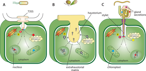 Effector delivery structures of Gram-negative bacterium, oomycete, fungus, and nematode in plant cell. (A) Type III secretion system in Gram-negative bacterium injects effectors into the host cell. (B) The haustorium in biotrophic and hemibiotrophic filamentous pathogens is believed to be the site of effector release into the host cell. (C) Gland secretions, which include effectors, are injected into the plant cell via the stylet of the nematode. Effectors (E) thus delivered, can either suppress host defenses and/or trigger host cell defenses, which include programmed cell death (PCD) upon recognition by resistance (R) proteins. Recognition of effectors by R proteins may occur directly (observed with some fungal effectors) or indirectly as a result of interaction of the effectors with other host protein(s) (observed with a number of bacterial effectors). Potential subcellular locations of effectors such as the nucleus and chloroplasts are also shown.