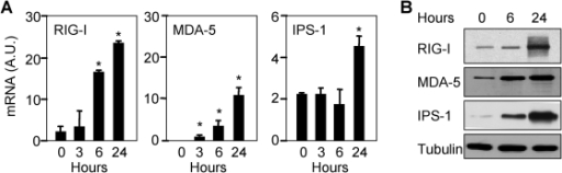 MVA up-regulates the expression of RIG-I, MDA-5 and IPS-1 mRNAs and proteins.RIG-I, MDA-5 and IPS-1 mRNA and protein expression by RT–PCR (A) and Western blot (B). THP-1 cells were infected with MVA (MOI 5) for the indicated time. Results are expressed as the ratio of RIG-I, MDA-5 or IPS-1 mRNA levels to that of HPRT. Data are means±SD of triplicate samples from one experiment and are representative of three independent experiments. AU: arbitrary units. *p<0.05.
