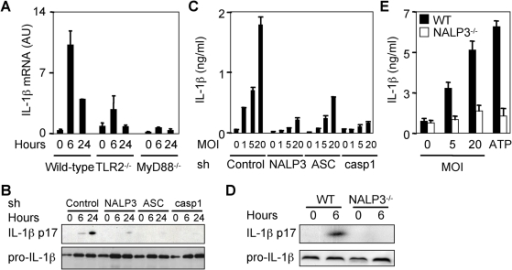 Crosstalk between TLR2-MyD88 and the NALP3 inflammasome for IL-1β expression and processing.(A) Wild-type, TLR2−/− and MyD88−/− BMDMs were primed overnight with ultra-pure LPS (100 ng/ml) and infected with MVA (MOI 5). IL-1β mRNA expression was quantified by RT-PCR (p<0.05 for TLR2−/− or MyD88−/− vs. wild-type BMDMs). THP-1 cells stably transduced with control, NALP3, ASC and caspase 1 (casp1) shRNAs were infected with MVA (MOI 5 unless specified otherwise) for the indicated time (B–C). (B) Western blots of intracellular pro-IL-1β and secreted IL-1β p17. (C) IL-1β concentrations measured by ELISA in cell-culture supernatants collected 24 h after infection (p<0.05 for cells transduced with NALP3, ASC and casp1 shRNAs vs. control shRNA). LPS-primed wild-type and NALP3−/− BMDMs were infected with MVA (MOI 5 in D) for 6 h (D–E). (D) Western blots of intracellular pro-IL-1β and secreted IL-1β p17. (E) IL-1β concentrations measured by ELISA in cell-culture supernatants collected 24 h after infection. Results are expressed as the ratio of IL-1β mRNA levels to that of HPRT. Data are means±SD of triplicate samples from one experiment and are representative of two independent experiments (p<0.05 for NALP3−/− vs. wild-type BMDMs).