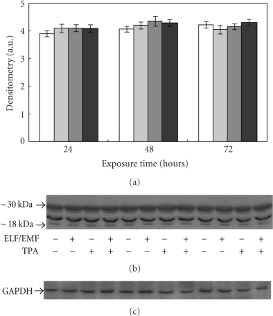 "Effect of ELF-EMFs exposure and TPA treatment on 20S proteasome levels.  Representative autoradiography of 20S proteasome in Caco cells exposed to  ELF-EMFs. The densitometric analysis from six separate blots provided for quantitative analysis of the amount of 20S ""core"" is presented (a) and a representative Western blot is shown in (b). Equal protein loading was verified by using an anti-GAPDH antibody (c). The immunostaining was performed using an anti-20S proteasome antibody, and the detection was executed by the Enhanced Chemiluminescence Western blot analysis system."