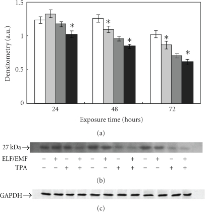 Effect of ELF-EMFs exposure and TPA treatment on p27 levels.  Autoradiographs of p27 expression in Caco cells exposed to ELM-EMFs. The densitometric analysis from six separate blots provided for quantitative analysis is presented (a) and a representative Western blot is shown (b). Equal protein loading was verified by using an antibody directed against GAPDH (c). Caco cells were cultured with or without 0.1 μM TPA for 24, 48, and 72 hours. After harvesting and lysing the cells, samples were subjected to SDS-PAGE and electroblotted on a polyvinylidene fluoride membrane. The immunostaining was performed using anti-p27 antibodies, and the detection was executed by the Enhanced Chemiluminescence western blotting analysis system. Data points marked with an asterisk are statistically significant compared to their respective not exposed control cells (P < .05).