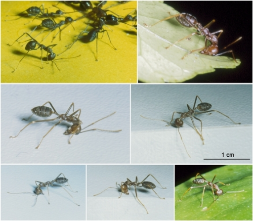 Illustrations of the posture of marking workers.Includes a case where a worker is marking while nestmates are spread-eagling a Camponotus worker (upper left photo).