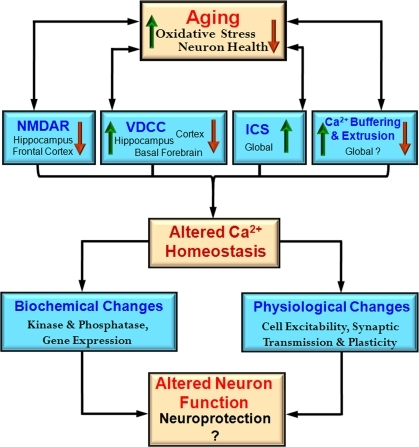 Integrative model of the impact of aging on the Ca2+ handling mechanisms and physiological processes. During aging there is an interaction between increased oxidative stress and decreased neuron health with mechanisms for Ca2+ regulation including NMDA receptors (NMDAR), voltage-dependent Ca2+ channels (VDCC), intracellular calcium stores (ICS), and Ca2+ buffering and extrusion mechanisms. These changes are region and cell specific rather than representing a global change. An indication of regional specificity (hippocampus, frontal cortex, cortex, basal forebrain) and the direction of change (increase – red arrow and decrease – green arrow) for each mechanism are also provided. The shift in Ca2+ homeostatic mechanisms may represent neuroprotective mechanisms to decrease further rise in intracellular Ca2+ by decreasing neuron activity. These changes also impair the function of the neuron.