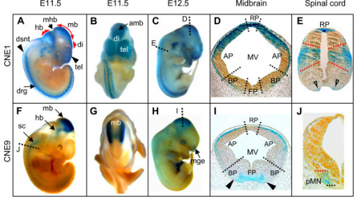 CNE1 and CNE9 govern lacZ expression along distinct domains of brain and spinal cord. (A-C) Whole mount views of transgenic mouse embryos expressing the reporter under control of CNE1 at E11.5 (A, B), and E12.5 (C). (F-H) Whole mount views of embryos carrying CNE9 as enhancer of lacZ expression at E11.5 (F-G), and E12.5 (H). (D, I) Transverse sections through the midbrain at the level shown with dotted lines in panels (C) and (H). (D) In the roofplate and dorsolateral part of alar-column of midbrain the CNE1-induced expression is apparent in marginal, mantle, and ependymal layers of neuroepithelium, whereas in medial section of alar- plate/entire basal-plate of midbrain, expression is restricted to the marginal layer. (I) CNE9-driven lacZ expression is present in ventral midline of caudal midbrain, whereas dorsally reporter signal is confined to the dorso-lateral marginal tissue. (E, J) Transverse sections through the spinal cord at the levels shown with dotted lines in the panels (C) and (F). (E) CNE1-generated transgene expression in the spinal cord is confined to the roofplate (RP), progenitors of Dp5, Dp6, Vp0, Vp1 interneurons, and progenitors of V3 interneurons (open arrowheads). (J) CNE9-induced lacZ expression in the spinal cord was present up-to embryonic day E11.5 and was confined to progenitors of motor neurons (pMN). amb, anterior midbrain; drg, dorsal root ganglia; dsnt, dorsal neural tube; hb, hindbrain; di, diencephalon; mb, midbrain; mge, medial ganglionic eminence; mhb, midbrain-hindbrain boundary; sc, spinal cord; tel, telencephalon. MV, mesencephalic vesicle; AP, alar-plate; BP, basal-plate; FP, floorplate.