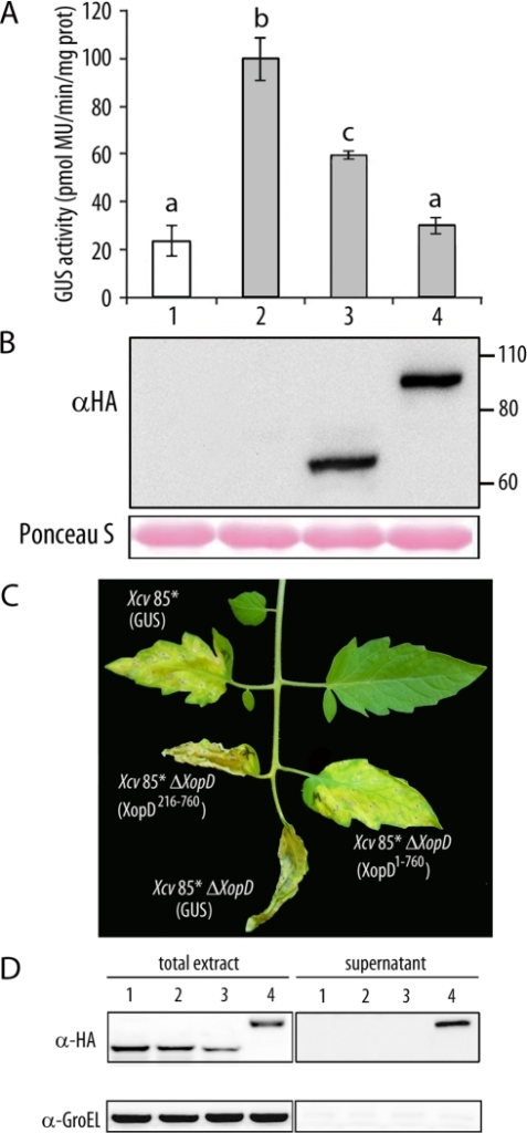 In planta analysis of XopD1-760-mediated virulence functions.(A) Transactivation of the PR1 promoter after SA treatment in transient assays in N. benthamiana. Leaves were inoculated with A. tumefaciens carrying a 35S:PR1p-GUS fusion either alone (lanes 1, 2) or together with HA-tagged XopD216-760 (lane 3) or XopD1-760 (lane 4). 18 hours after agroinfiltration, leaves were mock-treated (white bar) or treated with 2 mM SA (grey bars). Fluorimetric GUS assays in leaf discs were performed 12 hours later. Mean values and SEM values were calculated from the results of four independent experiments, with four replicates per experiment. Statistical differences according to a Student's t test P value <0.05 are indicated by letters. MU, methylumbelliferone. (B) Western blot analysis showing expression of HA-tagged XopD216-760 and XopD1-760. Ponceau S staining illustrates equal loading. (C) Susceptible Pearson tomato leaves were inoculated with Xcv 85* or Xcv 85* ΔxopD, expressing an HA-tagged GUS control, Xcv 85* ΔxopD expressing HA-tagged XopD216-760 or Xcv 85* ΔxopD expressing HA-tagged XopD1-760. Inoculation was performed with bacterial suspensions of 1×105 cfu/ml. Representative symptoms observed 10 dpi are shown. Similar phenotypes were observed in four independent experiments. (D) Strains Xcv 85* expressing a GUS control (1) and 85* ΔxopD expressing either a GUS control (2), XopD216-760 (3) or XopD1-760 (4) were incubated in MOKA rich medium (total extract, left) or secretion medium (supernatant, right). Total protein extracts (10-fold concentrated) and TCA-precipitated filtered supernatants concentrated (200-fold concentrated) were analysed by immunoblotting using anti-HA antibodies (upper panel) to detect the presence of GUS, XopD216-760 and XopD1-760, or anti-GroEL antibodies (lower panel) to show that bacterial lysis had not occurred.