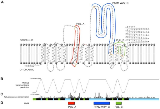 N.meningitidis PglL topology and conservation.(A) Transmembrane profile of N. meningitidis PglL with the regions identified by the PglL_A, PglL_B and Wzy_C hidden Markov models indicated by red, green and blue lines and highly conserved amino acids coloured in red and orange. (B) The PglL protein Phobius transmembrane helix prediction with predicted transmembrane regions represented by dashed-lines. (C) CLUSTALX plot of sequence conservation of CLUSTALW alignment of the putative PglL proteins. (D) Regions identified by the PglL_A, PglL_B and Wzy_C hidden Markov models indicated by red, green and blue boxes respectively.