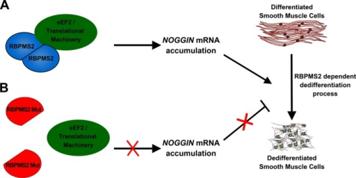 Model of the action of RBPMS2 homodimerization in the SMC dedifferentiation process. Homodimeric RBPMS2 complex interacts with eEF2, an essential member of the eukaryote translational machinery that allows the accumulation of NOGGIN mRNA that will be further translated to inhibit BMP pathway activity (9) and to trigger the dedifferentiation of the SMCs (A). Disruption of RBPMS2 homodimerization through Leu to Glu substitution in position 49 leads to monomeric RBPMS2 proteins unable to interact with eEF2 and inefficient to induce the dedifferentiation process (B).