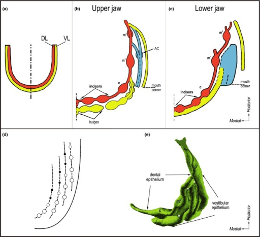 Developing dentition and oral vestibule in humans and their comparison with developing teeth in fish. (a) Embryological textbooks present two parallel U-shaped ridges in human embryos: DL – dental lamina (giving rise to the primary dentition) and VL – vestibular lamina or labio-gingival band (where the oral vestibule will form). (b-c) Summarization of data by 3D reconstructions showing that no continuous vestibular lamina exists. Instead, a set of discontinuous epithelial structures (ridges and bulges) transiently occurs externally to the dental epithelium. Red – dental epithelium. Yellow or blue – vestibular epithelium. c, m1, m2 – the deciduous canine, first and second molar, respectively. AC – the accessory cap-shaped structure (modified according to the refs25,44). (d) The schematic pattern of tooth rows ('Zahnreihen') in fishes. The empty rings and black spots indicate the older and younger teeth respectively, new teeth are formed at the posterior end of each Zahnreihen (modified according to the ref.161). (e) Dental and vestibular epithelia in an 8-week-old human embryonic maxilla in a 3D reconstruction viewed from the mesenchymal aspect. Note the reiterative fusions (white asterisks) between the dental epithelium and particular ridges of the vestibular epithelium. c, m1 – the deciduous canine and the first molar, respectively.