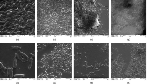(a)–(h) Visualization of biofilm augmentation by scanning electron microscopy. Electron micrographs (a, c, e, g) showing biofilms formed by algC clones after 24 h, at a gradient of magnifications (Bar = 2 μm, 5 μm, 10 μm, and 20 μm; absolute magnifications indicated as Kx in the very picture) as observed under a scanning electron microscope. algC clones can be seen clearly producing dense and robust biofilm as suggested by the thickness and integrity of the biofilm matrices, compared to the control biofilms by E. coli DH5α (lacking A. baumannii algC gene) at corresponding comparable magnifications (b, d, f, h).