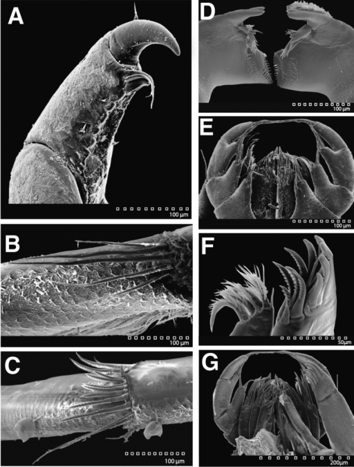 SEM images of Exosphaeromaamplicauda LACM CR-2014.1.1. A pereopod 3 dactylus scales B pereopod 7 merus distal setal patch C pereopod 7 carpus distal setal patch D left and right mandibles ventral E left and right maxillipeds, maxillulae, and maxillae dorsal F left maxillula G maxilliped and other mouth parts dorsal.