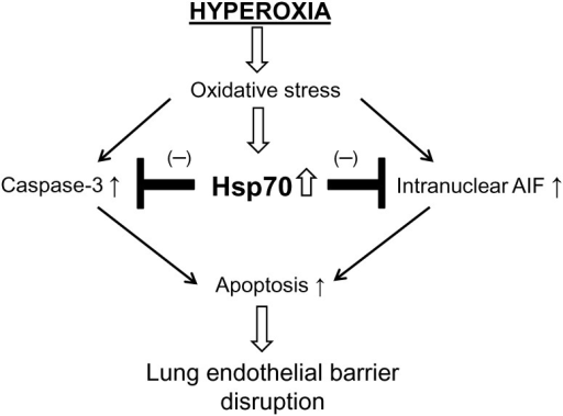 A schematic pathway illustrating the role of Hsp70 in hyperoxic lung endothelial barrier disruption.Hyperoxia induces an increase in Hsp70 expression which plays a protective role against endothelial barrier disruption and lung endothelial apoptosis via caspase- and AIF-dependent mechanism in hyperoxic lung endothelial injury.