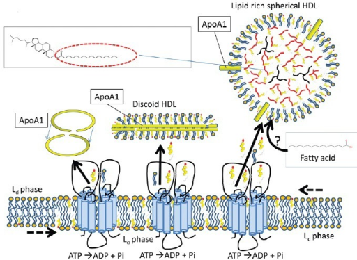 Reverse cholesterol transport (RCT) from the sperm membrane to high-density lipoproteins (HDL). ATP binding cassette (ABC) transporters can transport free sterols to acceptor proteins like HDL, which are abundant in the oviduct. The apolipoprotein A1 protein forms a circular dimer and stabilises discoidal, nascent HDL (mainly composed of phospholipids and free cholesterol). This structure can import more free cholesterol and phospholipids into its bilayer or esterify the free cholesterol with diacylglycerol to neutralize the lipids for intracellular storage (triacylglycerol in black and cholesteryl esters with the fatty acid esterified in red). The origin of the fatty acids used to esterify cholesterol in the oviduct is not known. See introduction and Figure 1 for information on Lo and Ld. Note that by analogy with other cell types, the ABC transporters are drawn in this model in the Lo microdomains.52 This model also presents the possibility that after export of cholesterol in the Lo regions, the vacant space for cholesterol is filled in by attracting cholesterol from Ld to explain why sperm RCT does not lead to disruption of aggregated Lo microdomains as observed in other cell types.95