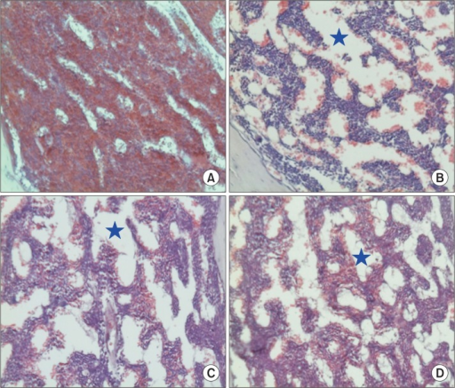 Representative findings of the bone marrows of mice orally administered with MB12662 for 10 days and intraperitoneally challenged with cisplatin (3.5 mg/kg) on days 4–7. (A) normal control; (B) cisplatin alone; (C) cisplatin + 10 mg/kg MB12662; (D) cisplatin + 50 mg/kg MB12662. Note the decreased cellularity of bone marrow precursor cells compared to the normal features in A, resulting in porotic changes (asterisks) in B–D.