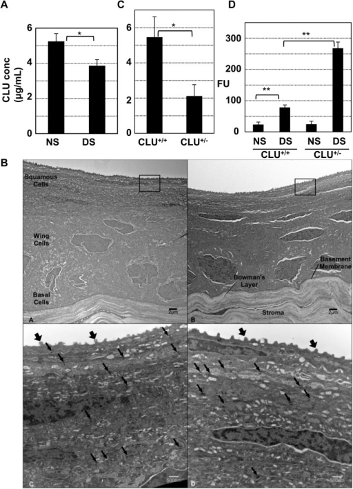 Causal association between endogenous CLU concentration in tears and ocular surface barrier vulnerability.(A) Tears were collected from mice housed under normal ambient conditions or after application of the standard desiccating stress (DS) protocol for 5-days, and ELISA was used to measure CLU concentration (*P = 5x10-8 n = 6, student's t-test). (B) Representative transmission electron microscopy comparing images of anterior cornea from wild type C57BL6/J mice (A and C) and mice with homozygous CLU-/- knockout on the C57BL6/J background (B and D). In low power (4000x) magnifications (A and B), five layers of epithelial cells divided into squamous, wing, and basal cell regions are visualized along with an intact basement membrane and Bowman's layer in both types of animals. Higher power images (C and D, 20,000x) of similar regions to those boxed in panels A and B show numerous surface microplicae (fat arrows) in both genotypes. Desmosomes (thin arrows) are similar in both frequency and structure. Higher power images (not shown) demonstrate intact adherens junctions in both genotypes. (C) Tears from wild type or heterozygous CLU+/- knockout mice kept at ambient conditions were collected and ELISA was used to measure CLU concentration (p = 2.1x10-5; n = 7, student's t-test). (D) Wild type mice or heterozygous CLU+/- knockout mice were subjected to the standard desiccating stress protocol, but without scopolamine injection for four weeks and then ocular surface barrier integrity was measured by fluorescein uptake (**p<0.0001, n = 4).