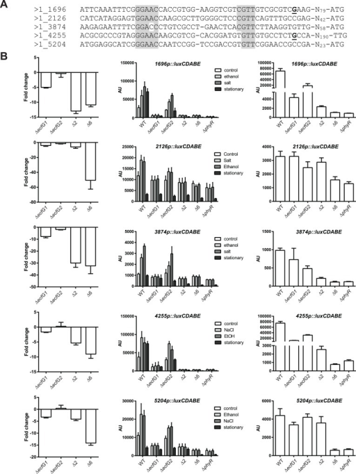 Activity of selected promoters in response to salt, ethanol or in stationary phase.A. Sequences of selected promoters. The transcriptional start sites mapped previously are in bold and underlined [22, 29]. The putative -35 and -10 boxes are highlighted in grey. B. (left panel) Fold-change values from microarray experiments. (middle panel) Luciferase activity of luxCDABE transcriptional fusions to selected promoters in the wild type (WT), ecfG1 mutant (ΔecfG1), ecfG2 mutant (ΔecfG2), double ecfG1 ecfG2 mutant (Δ2), sextuple mutant (Δ6) or phyR mutant (ΔphyR). Cultures were treated with 1% ethanol (ethanol), 20 mM salt (salt) or H2O (control) in exponential phase 60 minutes prior to measurement, or were grown to stationary phase. The right panel shows the same stationary phase values with different axis ranges in order to better see the differences between the strains. AU, arbitrary units.