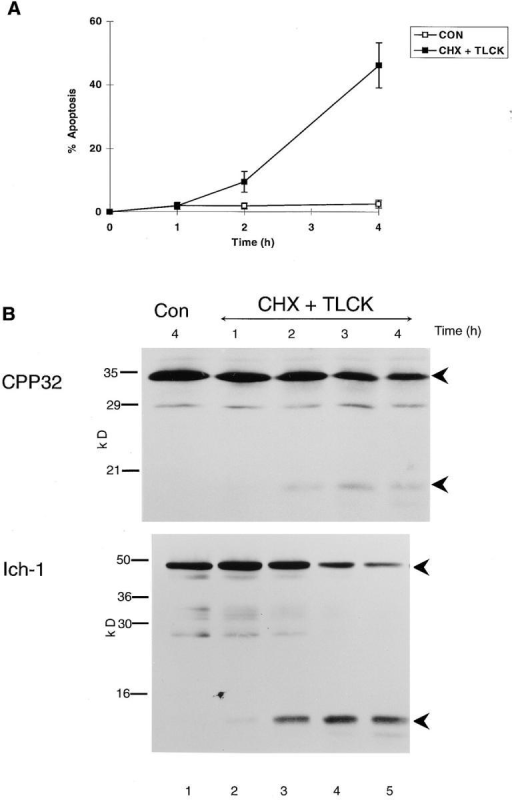 More than one ICE homologue is cleaved in cells exposed to an apoptotic stimulus. THP.1 cells were incubated for  up to 4 h, either alone (Con) or in the presence of cycloheximide  (CHX) (25 μM) and TLCK (100 μM). (A) The time course of induction of apoptosis was determined by flow cytometry as described in Materials and Methods. (B) The time course of cleavage of the proforms of CPP32 (upper panel) and Ich-1 (lower  panel) was determined by Western blot analysis as described in  Materials and Methods. The 32-kD pro-CPP32 is indicated by the  upper arrowhead, and the 17-kD cleavage product is indicated by  the lower arrowhead in the upper panel. The 48-kD pro–Ich-1 is  indicated by the upper arrowhead, and the 12-kD cleavage product is indicated by the lower arrowhead in the lower panel.