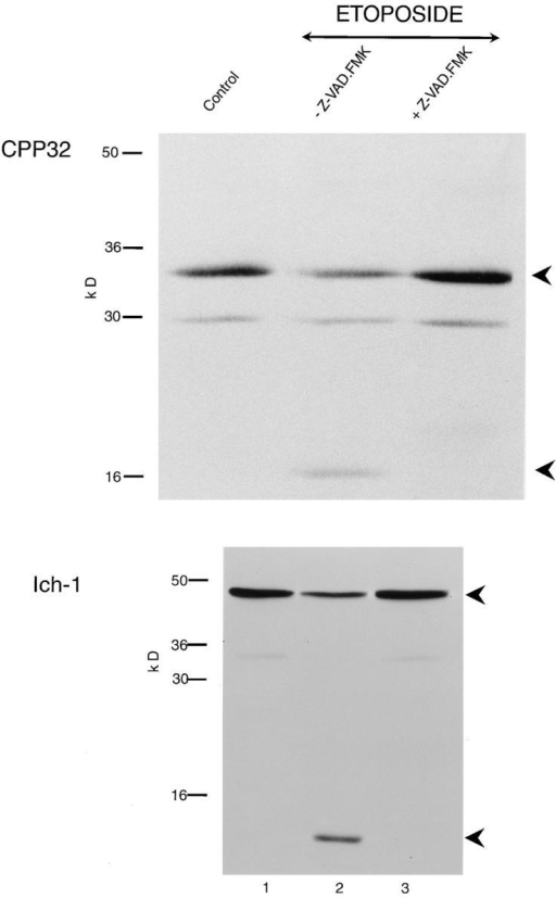 Z-VAD.FMK inhibits the cleavage of CPP32 and Ich-1.  THP.1 cells were incubated for 4 h, either alone (lane 1) or with  etoposide (25 μM) in the presence (lane 3) or absence (lane 2) of  Z-VAD.FMK (50 μM) as described in Materials and Methods.  CPP32 and Ich-1 were detected by Western blot analysis. (Upper  panel) pro-CPP32 is indicated by the upper arrowhead, and the  17-kD cleavage product is indicated by the lower arrowhead;  (lower panel) 48-kD pro–Ich-1 is indicated by the upper arrowhead, and the 12-kD cleavage product is indicated by the lower  arrowhead. On induction of apoptosis, intact CPP32 (upper  panel) and Ich-1 (lower panel) in control cells (lane 1) were  cleaved (lane 2), and these were inhibited by Z-VAD.FMK (lane 3).