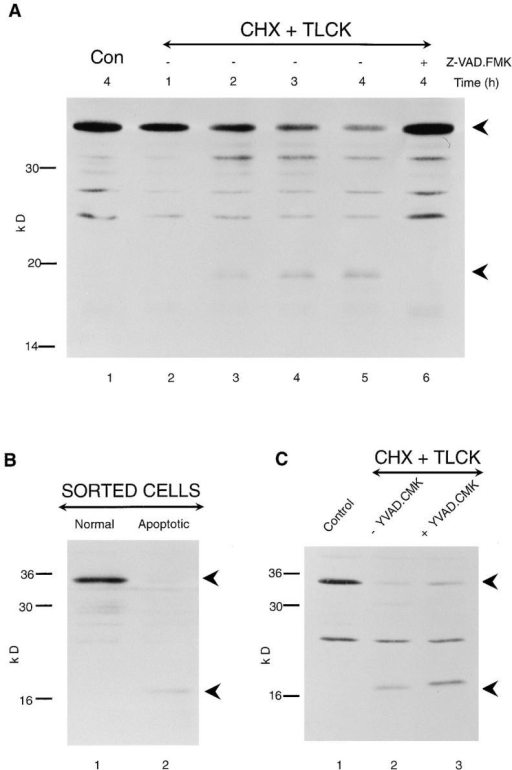 Processing of Mch3α in apoptotic THP.1 cells: inhibition by ZVAD.FMK but not by YVAD.CMK. (A) THP.1 cells  were incubated for up to 4 h, either alone (Con) or in the presence of cycloheximide (CHX) (25 μM) and TLCK (100 μM).  Where indicated, cells were pretreated for 1 h with Z-VAD.FMK  (50 μM), and then incubated for 4 h in the presence of the apoptotic stimulus. The time course of processing of the proform of  Mch3α (lanes 1–5) and its inhibition by Z-VAD.FMK (lane 6)  was determined by Western blot analysis as described in Materials and Methods. (B) THP.1 cells were incubated for 4 h in the  presence of etoposide (25 μM), stained with Hoechst 33342 and  propidium iodide, and then sorted by flow cytometry as previously described (see Materials and Methods and Fig. 2). Cells  with either normal (lane 1) or apoptotic (lane 2) morphology  were analyzed by Western blot analysis. (C) THP.1 cells were incubated for 4 h, either alone (lane 1) or with cycloheximide (25 μM)  and TLCK (100 μM) (lane 2) in the presence of YVAD.CMK  (25 μM) (lane 3), and samples were analyzed by Western blot  analysis. The proforms of Mch3α and its cleavage product are indicated by the upper and lower arrowheads, respectively (A–C).