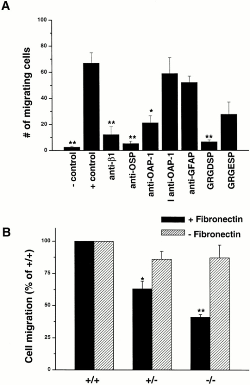 Oligodendrocyte migration in the presence of OSP/claudin-11, OAP-1, and β1 integrin antibodies and in OSP/claudin-11–deficient cells. (A) Cells were migrated out of agarose drops in medium: −control, minus fibronectin; +control, plus fibronectin; anti–β1 integrin antibody; anti–OSP/claudin-11 antibody; anti–OAP-1 antibody; boiled inactive anti–OAP-1 antibody, I anti–OAP-1; anti-GFAP antibody; GRGDSP peptide; and GRGESP peptide. Except for the −control, all other conditions contained fibronectin. The total number of cells migrating out of the agar drop was counted after 4 d. Statistical values represent each condition versus positive control: **P < 0.0005; *P < 0.005 (Student's t test). (B) Migration assays were performed using oligodendrocytes isolated from wild-type (+/+), heterozygous OSP (+/−), and homozygous knockout OSP (−/−) mice, and cells were allowed to migrate in the presence (black bars) and absence (stippled bars) of fibronectin. There was marked attenuation of fibronectin-dependent migration in OSP/claudin-11–deficient cells. Values are expressed as percentage of wild-type. Heterozygous (+/−) versus wild-type (*P < 0.05) and homozygous recessive (−/−) versus wild-type (**P < 0.005) (Student's t test).
