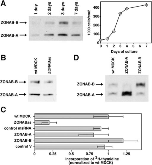 Regulation of proliferation by ZONAB. (A) MDCK cells were grown for the indicated amounts of days. Cultures were harvested and equal amounts of protein were loaded on SDS-PAGE gels for analysis of ZONAB expression by immunoblotting. The bands representing the ZONAB-A and -B isoforms are indicated. Parallel cultures were trypsinized, and the cells were counted to determine the cell density. (B) Reduction of ZONAB expression in low density cells by ZONAB antisense RNA. Proliferating wild-type MDCK cells (wt MDCK) and cells expressing ZONAB antisense RNA (ZONABas) were harvested, and equal amounts of protein were loaded on SDS-PAGE gels for analysis of ZONAB expression by immunoblotting. Based on densitometric scanning of the immunoblots, expression of ZONAB was reduced by >50% in cells transfected with the antisense construct. (C) Proliferation of low density MDCK cells expressing ZONAB antisense RNA (ZONABas), a control missense RNA (msRNA), overexpressing either one of the ZONAB isoforms, or transfected with a control cDNA were analyzed by measuring incorporation of [3H]thymidine. Data were normalized to wild-type cells (shown are means ± 1 SD of at least three independent clones per construct that were analyzed in three independent experiments with quadruplicate cultures). Note that incorporation of [3H]thymidine by ZONABas cells was reduced by >70% (t test; P < 0.01). (D) Overexpression of ZONAB isoforms in low density MDCK cells. Proliferating wild-type MDCK cells (wt MDCK) and cells overexpressing ZONAB-A or ZONAB-B were harvested, and equal amounts of protein were loaded on SDS-PAGE gels for analysis of ZONAB expression by immunoblotting.