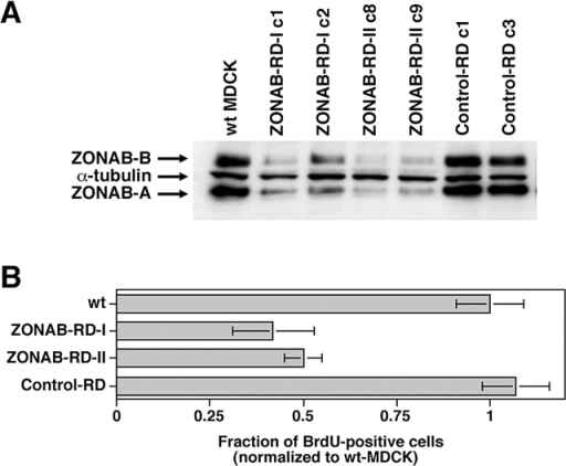 Depletion of ZONAB by RNA interference inhibits G1/S-phase transition. (A) Wild-type MDCK cells or cells stably expressing RNA duplexes corresponding to region I (ZONAB-RD-I c1 and c2) or II (ZONAB-RD-II c8 and c9) of ZONAB, or control RNA duplexes (control-RD c1 and c3) were grown for 2 d and then lysed and processed for electrophoresis. The samples were immunoblotted with anti-ZONAB and anti–α-tubulin antibodies. (B) Wild-type and transfected MDCK cells expressing the indicated RNA duplexes were plated at low confluence and synchronized in low serum. Cell cycle entry was triggered by serum addition, and progression to S-phase was monitored by determining the fraction of cell incorporation of BrdU. Shown are means ± 1 SD of at least two independent clones per type of RNA duplex that were analyzed in two independent experiments. Both ZONAB-directed RNA duplexes significantly inhibited entry into S-phase (t test; P < 0.02).