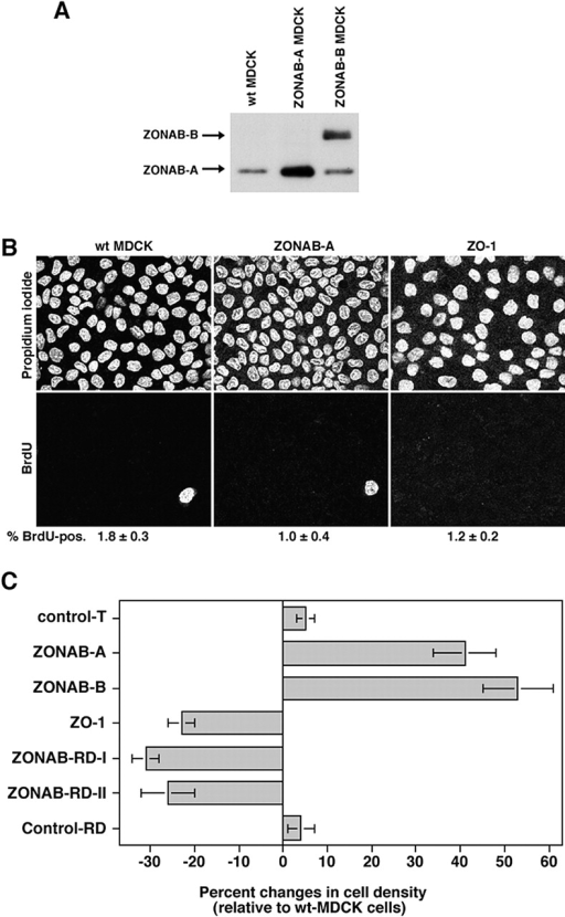 Regulation of final cell density by ZONAB. (A) Expression of ZONAB in high density wild-type and transfected MDCK cells. Wild-type (wt MDCK) and ZONAB-A or -B overexpressing cells were grown for 7 d. Cells cultured for 7 d had reached maximal cell density. Cultures were harvested, and equal amounts of protein were loaded on SDS-PAGE gels for analysis of ZONAB expression by immunoblotting. (B) Cell cycle arrest of high density MDCK cells. Wild-type or transfected MDCK cells overexpressing ZO-1 or ZONAB were grown to full density, and cell cycle arrest was determined by BrdU incorporation. Shown are representative images of propidium iodide and BrdU labelings, and the indicated numbers are the percentage of BrdU-positive cells (averages of two independent experiments are shown). Note the different cell densities in the propidium iodide staining. (C) Cell density of mature monolayers. Cells grown as those in B were harvested and counted. The cell number per cm2 of culture was calculated and expressed as percent changes relative to wild-type MDCK cells. The value shown for control transfections (control T) represents cell densities obtained from cell lines expressing three different control cDNAs generated with the same expression vector. Shown are averages ± 1 SD of independent clones that were analyzed twice independently using triplicate cultures. Analyzed were three different clones expressing ZONAB-A, three ZONAB-RD-I clones, and two independent clones each for ZONAB-B, ZO-1, ZONAB-RD-II, and Control-RD. All cell lines with the exception of the two types of control transfection were significantly different from wild-type cells (t test; P < 0.05).
